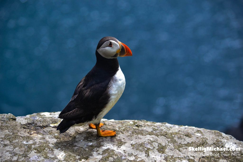 An Atlantic puffin (Fratercula arctica) standing on a ledge on Skellig Michael.